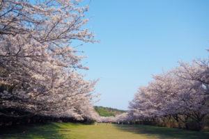 稲取高原の桜