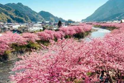 河津桜ツアー