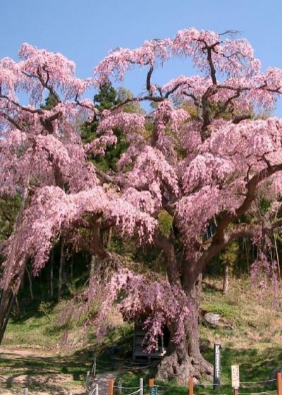 おおるり恒例 さくら三昧ツアー「三春の滝桜」他