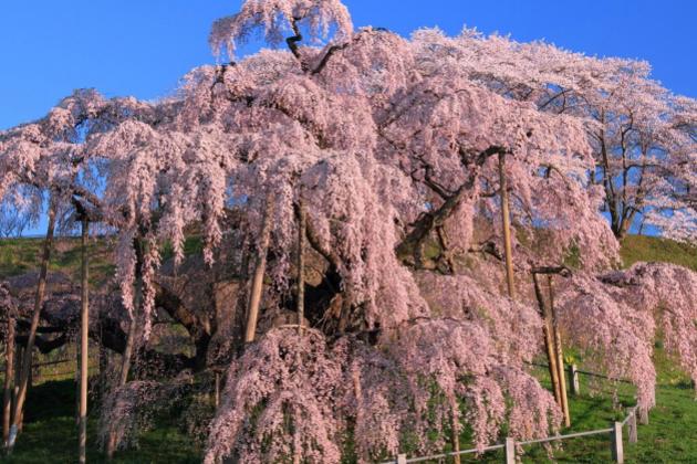 三春の滝桜ツアー