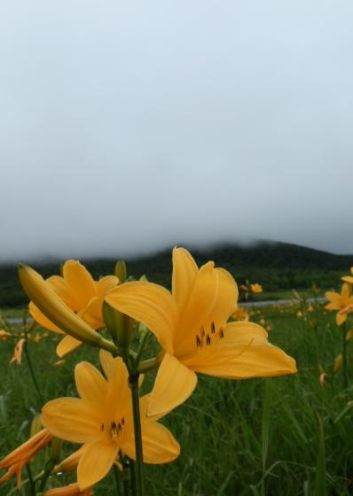 霧降高原ニッコウキスゲ無料観光